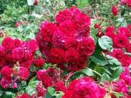 rose12