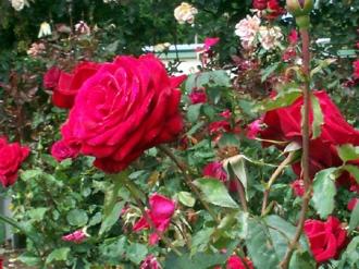 rose14
